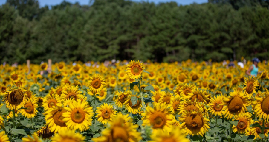 The sunflower field at Dorothea Dix Park